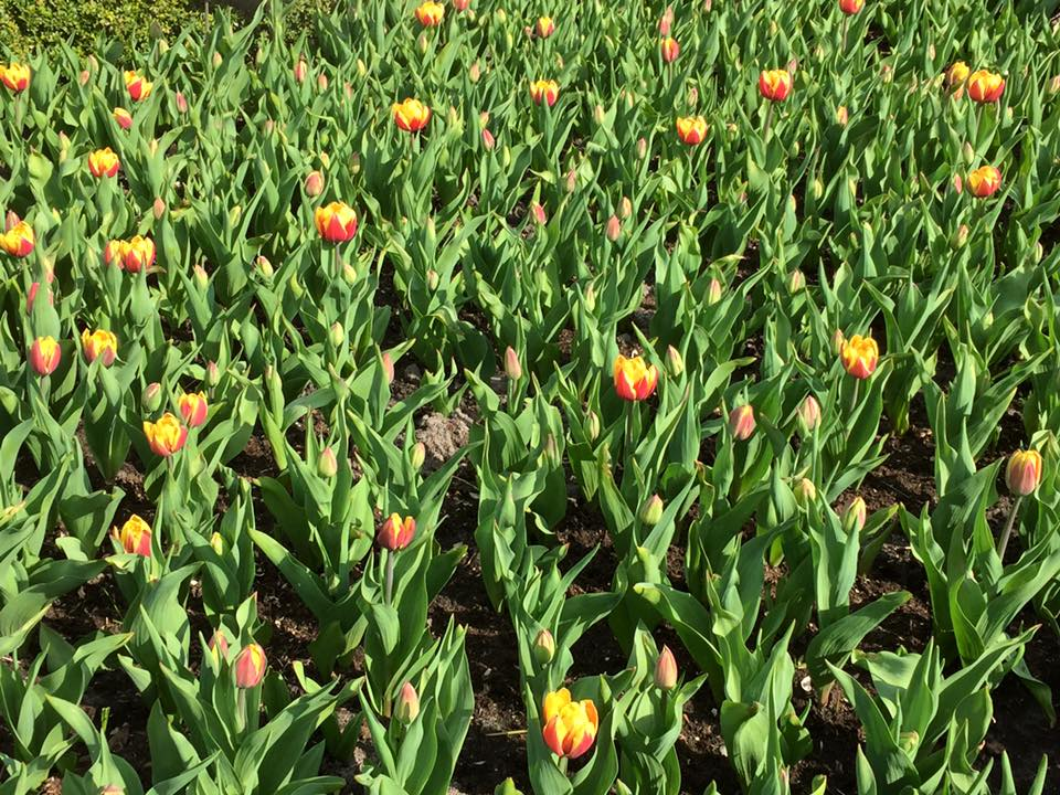 Tulipa Double Early